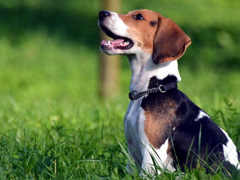 addestramento-cane-comando-seduto-resta