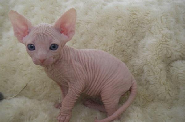La Tenerezza Dello Sphynx Il Gatto Senza Pelo Foto Si24