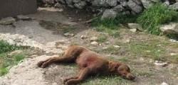 cani uccisi calabria, cani uccisi gimigliano, taglia 10 mila euro, aidaa, associazione aidaa tagli, cani morti gimigliano, tagli per cani morti gimigliano, chi uccide i cani gimigliano