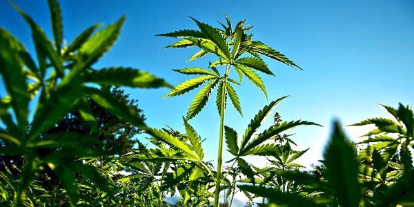Ragusa, scoperta serra di marijuana: quattro arresti