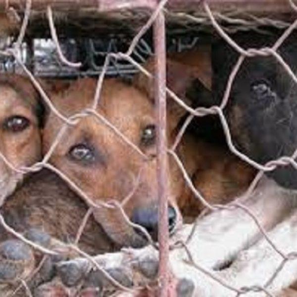 Allevamento da film horror nel Veronese, sequestrati 180 cani