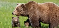 daniza, orso ucciso, forestale controlla spostamenti dei cuccioli di daniza, mamma orsa, forestale, provincia autonoma di trento, cuccioli di daniza sotto controllo