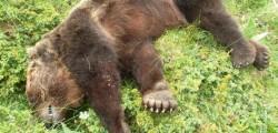 trovata carcassa di orso morto campagne aquila