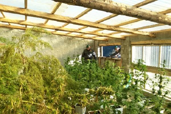 Nel Cosentino una centrale della droga | Sequestrati due quintali di marijuana