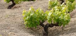 zibibbo-di-pantelleria-diventa-patrimonio-unesco