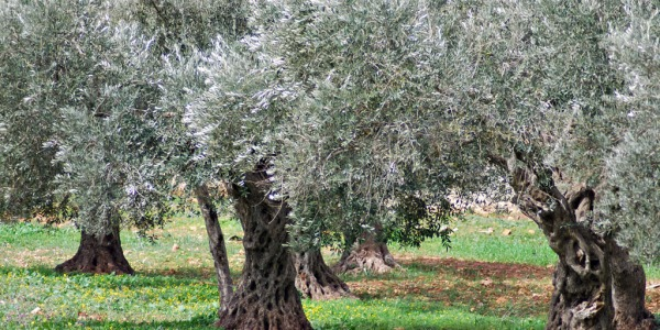 espianto ulivi puglia, ricorso espianto ulivi, tap puglia ulivi, tar espianto ulivi, ulivi puglia