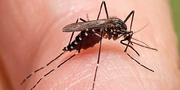 Allarme zanzara coreana: punge di giorno, resiste al freddo e trasmette malattie