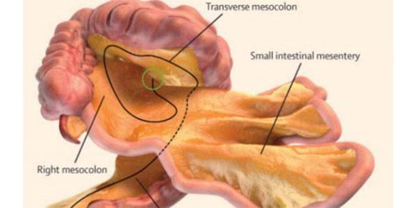 Scoperto un nuovo organo nel corpo umano: si chiama