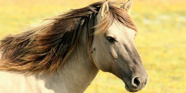 """I cavalli come gli esseri umani, entrambi si riconoscono allo specchio: """"E ciò li rende felici e rilassati"""""""