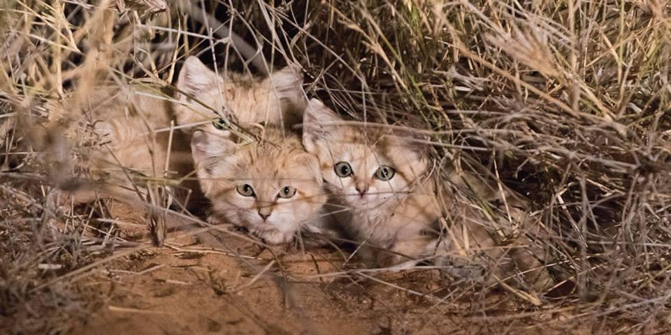 Marocco: ripresi per la prima volta i gatti delle sabbie – VIDEO