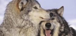uccisi-tre-lupi
