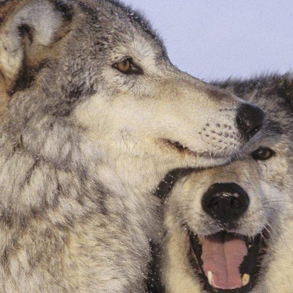 Uccisione lupi, condannato ex presidente di Bolzano