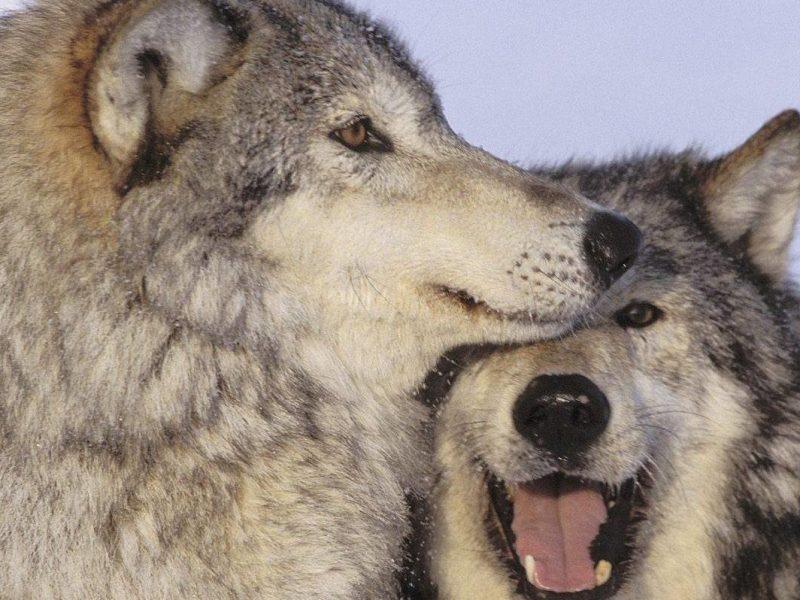 taglia lav per bracconieri lupo torino