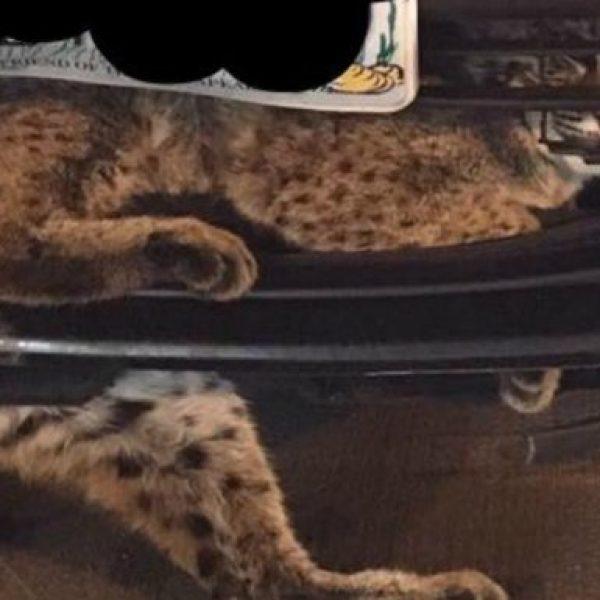 Usa: gatto-lince incastrato in un'auto. Adesso è salvo e verrà liberato