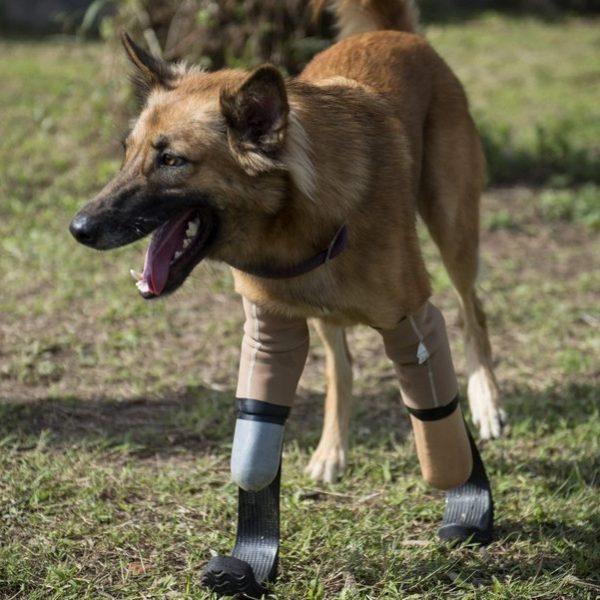 Cola, il cane che è tornato a correre con le protesi paraolimpiche