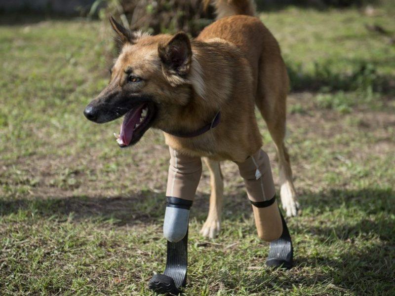cola il cane con le protesi