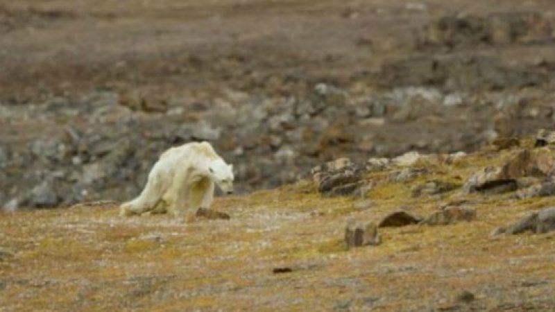 L'orso polare in punto di morte: le immagini strazianti di Paul Nicklen – VIDEO