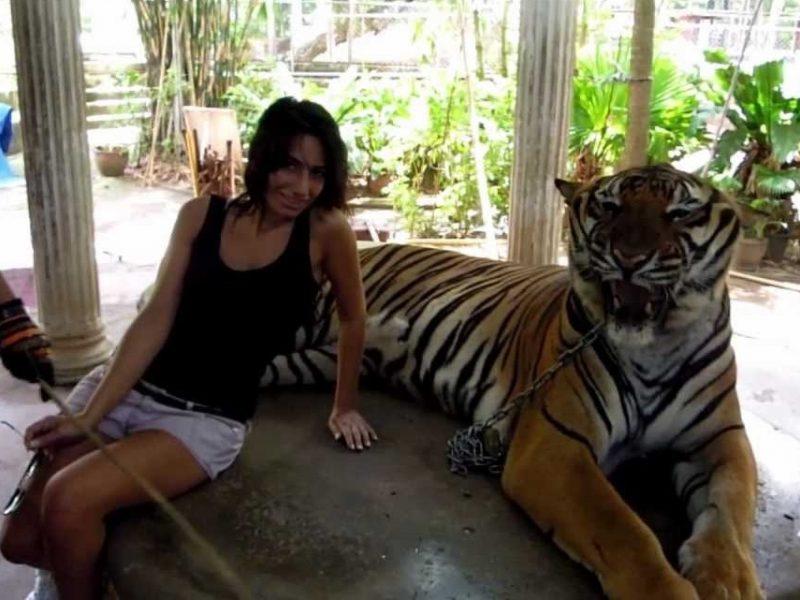 tigre maltrattata in thailandia