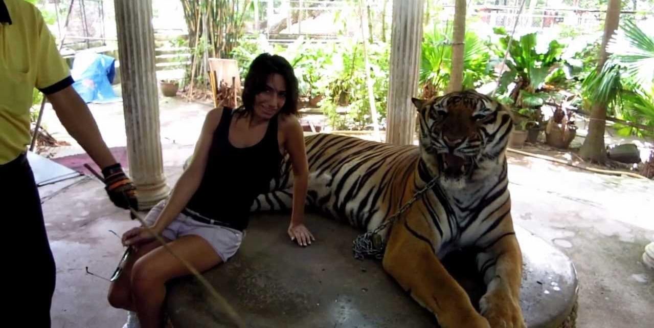 Thailandia, tigre maltrattata per le foto dei turisti – VIDEO