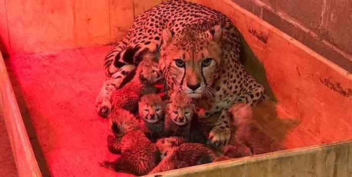 Usa, parto da record per un ghepardo in cattività – VIDEO