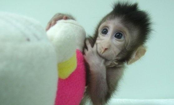 Cina, clonate due scimmie con il metodo Dolly