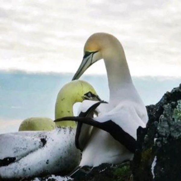 La triste storia di Nigel, l'uccello più solo al mondo