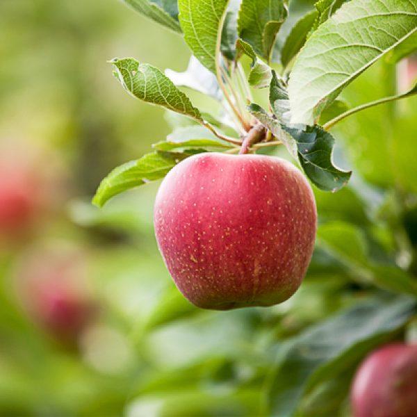 La mela annurca eviterà la caduta dei capelli durante la chemio