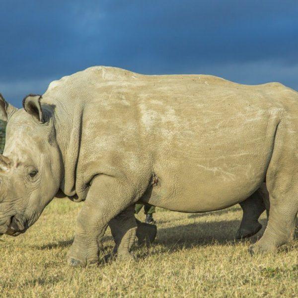 Madri surrogate per salvare il rinoceronte bianco