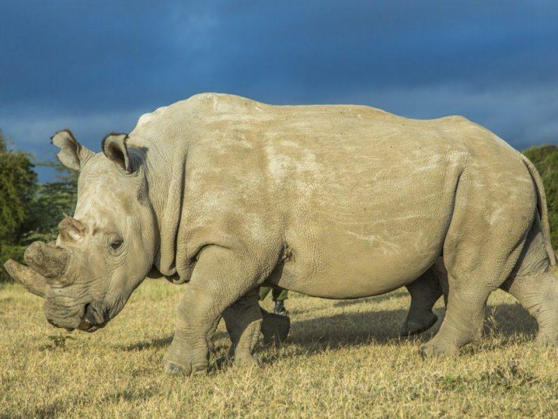 come salvare il rinoceronte bianco settentrionale