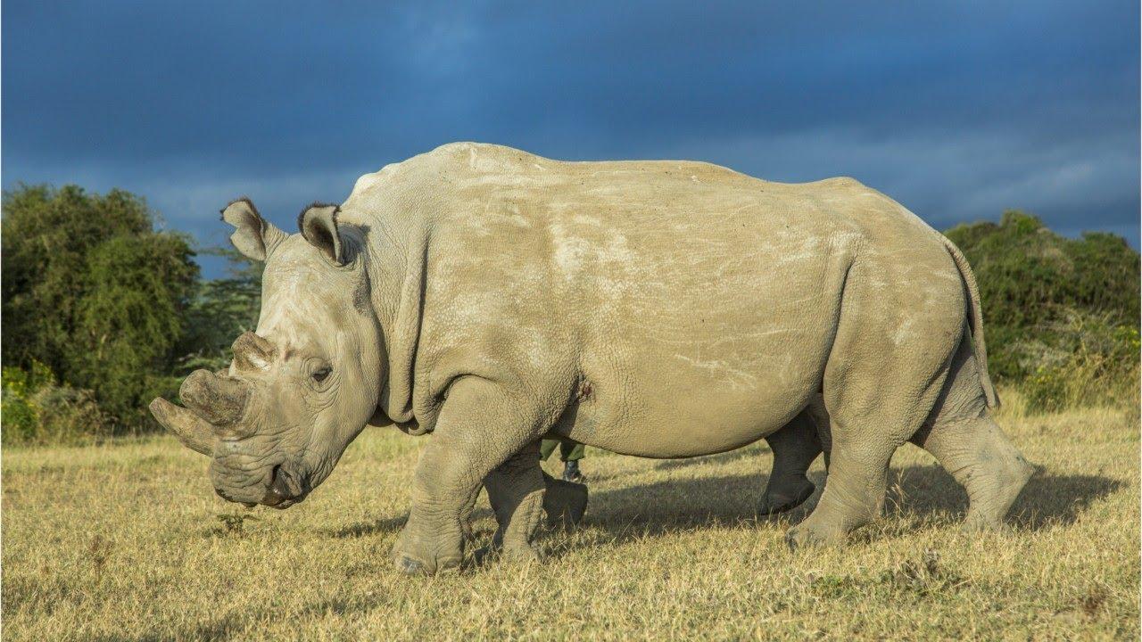 Kenya, morto ultimo rinoceronte bianco maschio