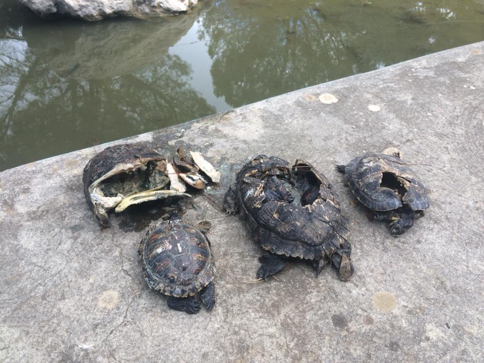 Carini, strage di tartarughe nella villa comunale
