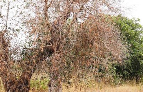 Virus xylella, salgono a 3.100 i casi di ulivi infetti in Puglia