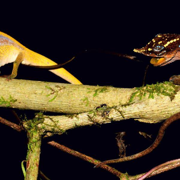 Animali, scoperto camaleonte arcobaleno in Madagascar