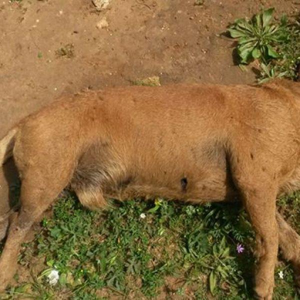 Trapani, cane randagio ucciso a fucilate