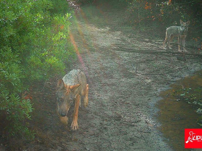investito cucciolo di lupo a castel di guido
