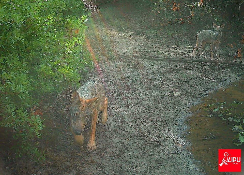 Roma, ucciso il cucciolo di lupo disabile dell'oasi Lipu