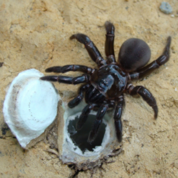 Australia, muore il ragno più anziano al mondo: aveva 43 anni