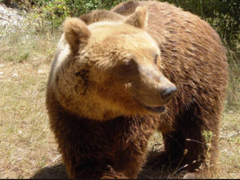 Orso morto in Abruzzo durante la cattura