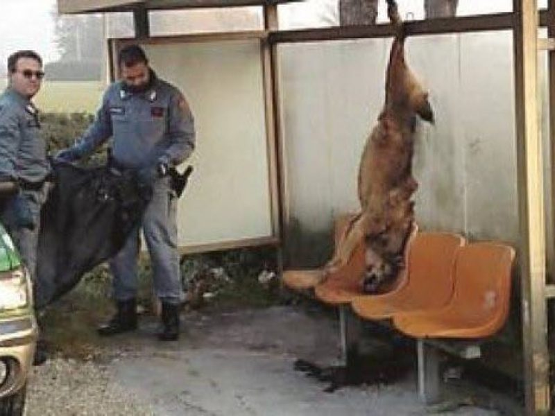 individuati i responsabili del lupo ucciso a coriano