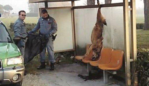 Rimini, denunciati i responsabili dell'uccisione di un lupo