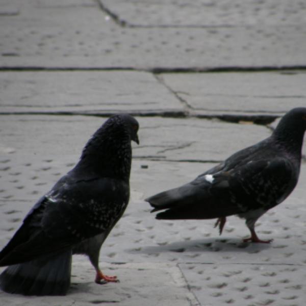 Firenze, uccide piccioni e li lancia sulle auto: denunciato
