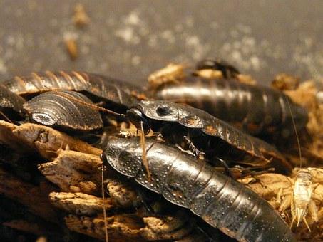 Latte di scarafaggio: il superfood del futuro