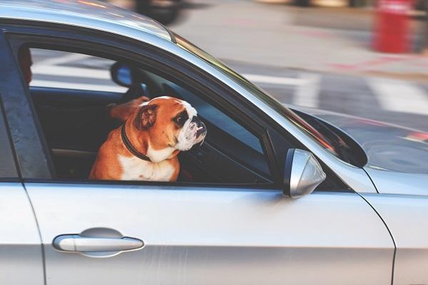 Viaggiare in auto con il proprio cane, consigli per mantenerlo tranquillo