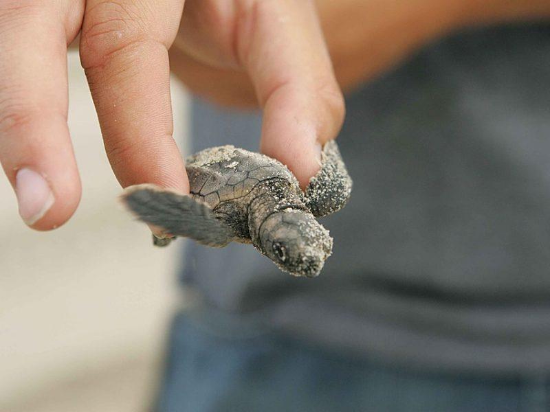 tartarughe caretta caretta nate in spiaggia Erice, notizia sì, 10 tartarughe nate fra i bagnanti a Trapani