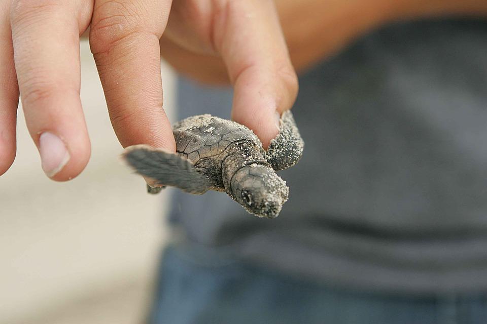 Trapani, 10 tartarughe nate in spiaggia fra i bagnanti