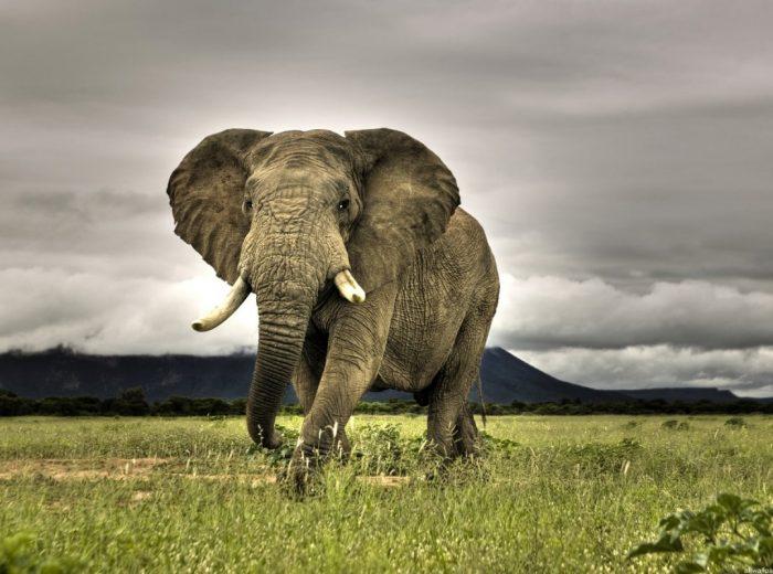 Botswana, trovati 87 corpi di elefanti uccisi dai bracconieri