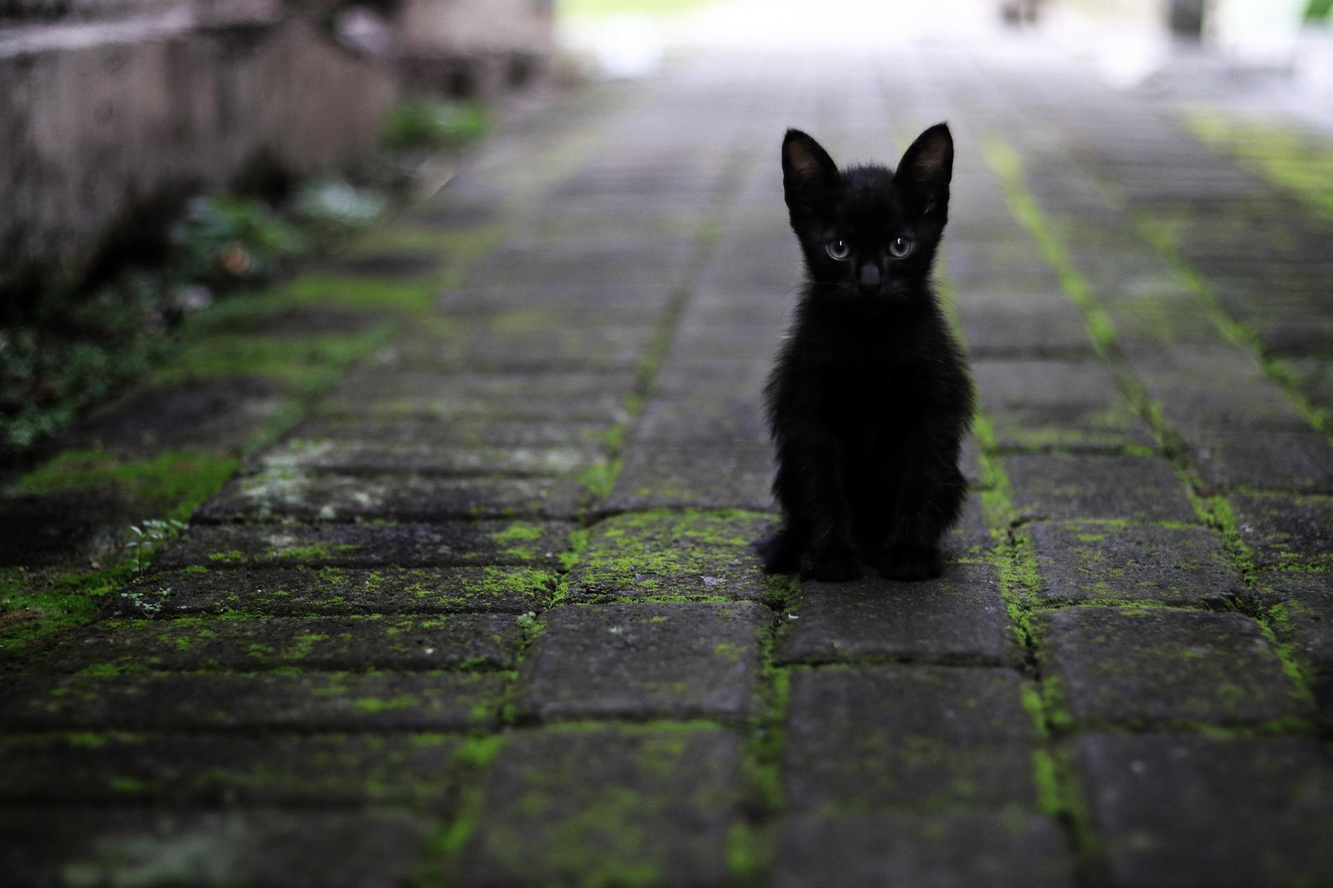 Gatti neri rapiti dai satanisti, l'allarme AIDAA