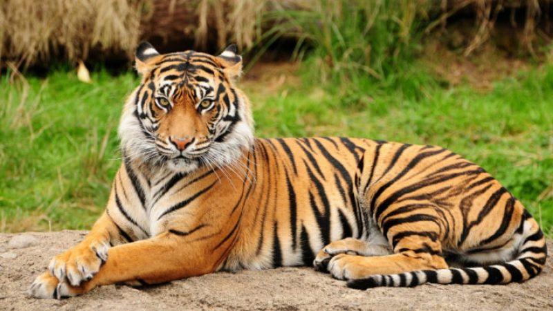 Tigri, in Nepal raddoppieranno in 10 anni