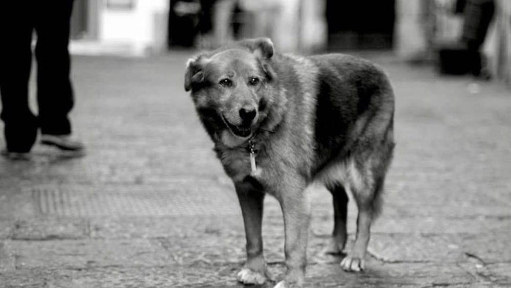 Vietri, è morto Billy il cane che dormiva sulla tomba del suo padrone