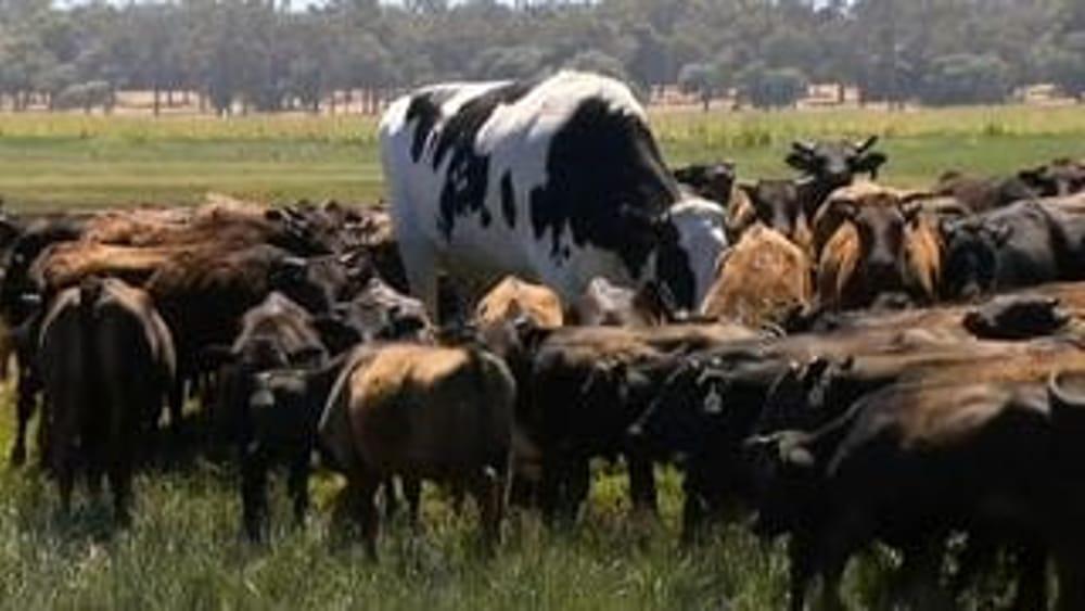 Australia, Knickers la mucca gigante che si salva dal mattatoio